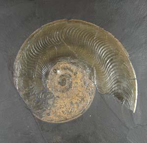 Ammonit aus dem Holzmadener Posidonienschiefer