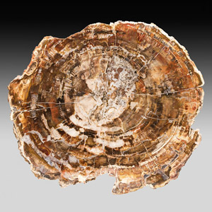 Holzscheibe aus der Trias von Madagaskar