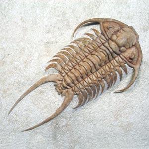 Trilobiten von verschiedenen Fundstellen zum Kaufen