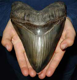 Zahn eines Carcharocles megalodon