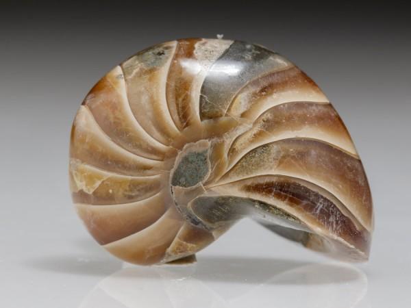 Nautilus aus Madagaskar