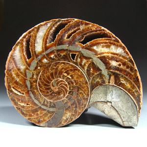 Nautilus cymatoceras aus der Kreidezeit von Madagaskar zum Kaufen